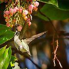 hummingbird in motion approaching beautiful blossoms. by Douglas Hamilton