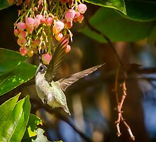 hummingbird in motion approaching beautiful blossoms. by Douglas Hamilton