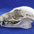 Flying Fox Skull by elsha