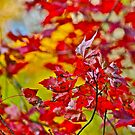 Red Maple leaves by Carolyn Clark