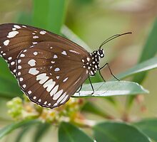 Common Crow Butterfly, Australia by Bruce  Thomson