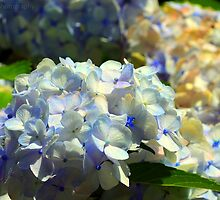 Hydrangea happiness by Scott Mitchell