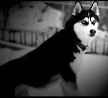 Siberian Husky in Winter by iArt Designs