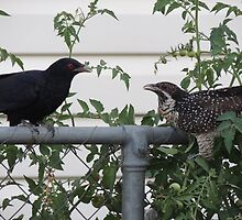 Drongo pair by jaycee
