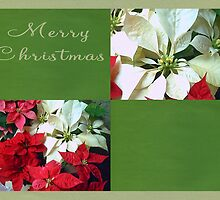 Mixed color Poinsettias 1 Merry Christmas Q5F1 by Christopher Johnson