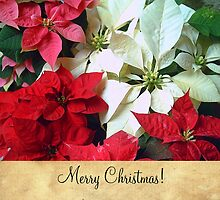 Mixed color Poinsettias 1 Merry Christmas S2F1 by Christopher Johnson