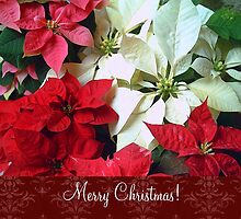 Mixed color Poinsettias 1 Merry Christmas S5F1 by Christopher Johnson