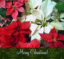 Mixed color Poinsettias 1 Merry Christmas S6F1 by Christopher Johnson