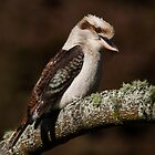 Laughing Kookaburra ~ Perfectly Perched by kim wormald