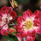 flower-cream-pink-red-roses by Joy Watson