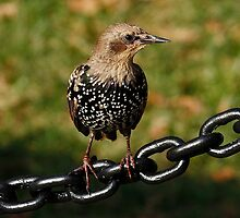 Starling by AnnDixon