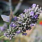 Common Blue Butterfly by ScoobyMoo
