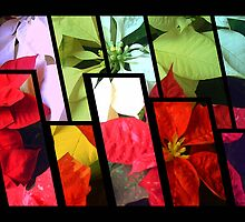 Mixed Color Poinsettias 2 Tinted 1 by Christopher Johnson