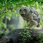 Great Horned Owlet by Owl-Images