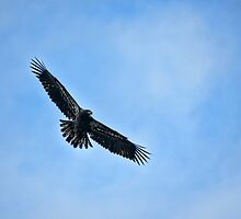 Eagle Soaring by adastraimages