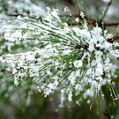 Snowy pine needles by Elena Elisseeva