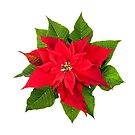 Christmas poinsettia plant on white by Elena Elisseeva
