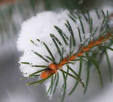 Spruce branch with snow by Elena Elisseeva