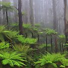 Ferns in the mist The Black Spur  by Donovan wilson