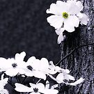Wild Dogwood Blooms by Sharon Woerner
