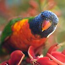 Rainbow Lorikeet feeding by Adriano Carrideo