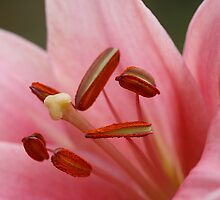 Close Up Pink Lily by edesigns14