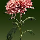 Chrysanthemum Shelbers by Susan Savad
