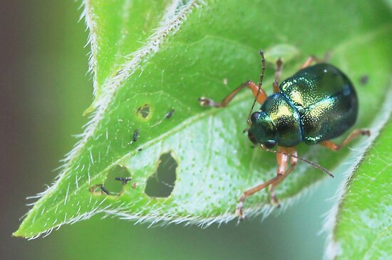 Leaf Beetle - Chrysomelidae by Rina Greeff