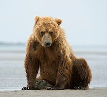 Coastal Brown Bear by Bear-Images