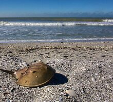 Horseshoe Crab by njordphoto