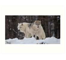 Arctic Wolves - Parc Omega, Quebec Art Print