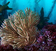 Gorgonian  by Greg Amptman