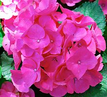 Hydrangea Hottie by Penny Smith