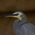 Up Close and Personal  White Faced Heron by Kym Bradley