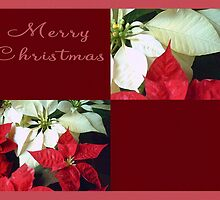 Mixed Color Poinsettias 2 Merry Christmas Q10F1 by Christopher Johnson