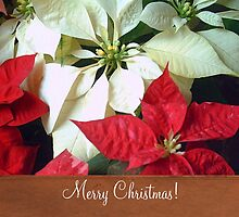 Mixed Color Poinsettias 2 Merry Christmas S1F1 by Christopher Johnson