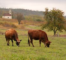 Jersey cows graze in the pasture fall. by viktori-art