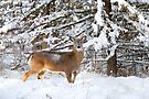 Young Buck in snow - White-tailed Buck, Ottawa by Jim Cumming