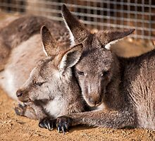 Cuddling Kangaroos by Ray Warren