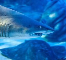 Blue Shark by Ray Warren