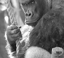 Gorilla Gorilla Gorilla by ChrisMillsPhoto