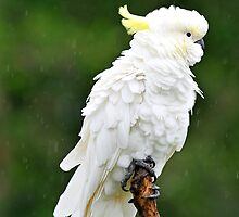 Cocky In The Rain. Cedar Creek, Queensland, Australia. by Ralph de Zilva