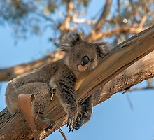 Sleepy Koala by Ray Warren