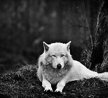 Dark Wolf by OldBear