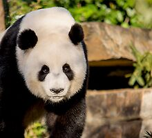 Giant Panda by Ray Warren