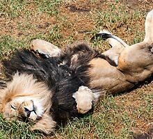 Just Lion Down by Ray Warren