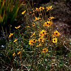 Family of Black Eyed Susans by talprofit
