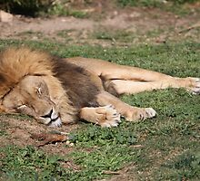 Napping Lion by NationalZooAust