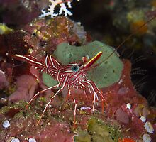 Peppermint Shrimp by Mark Rosenstein