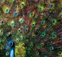 Rainbow Peacock by Liam Liberty